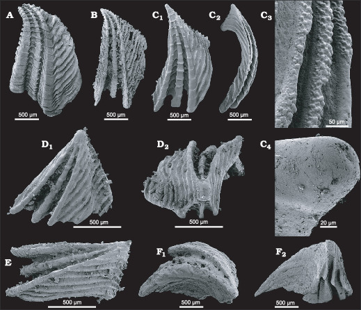 304ddeb4017b2 The Tommotiid Camenella reticulosa from the Early Cambrian of South ...