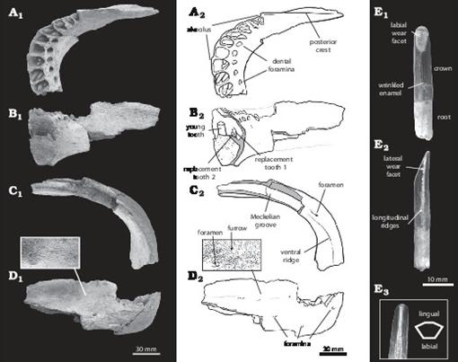 Cranial Anatomy and Phylogenetic Position of the
