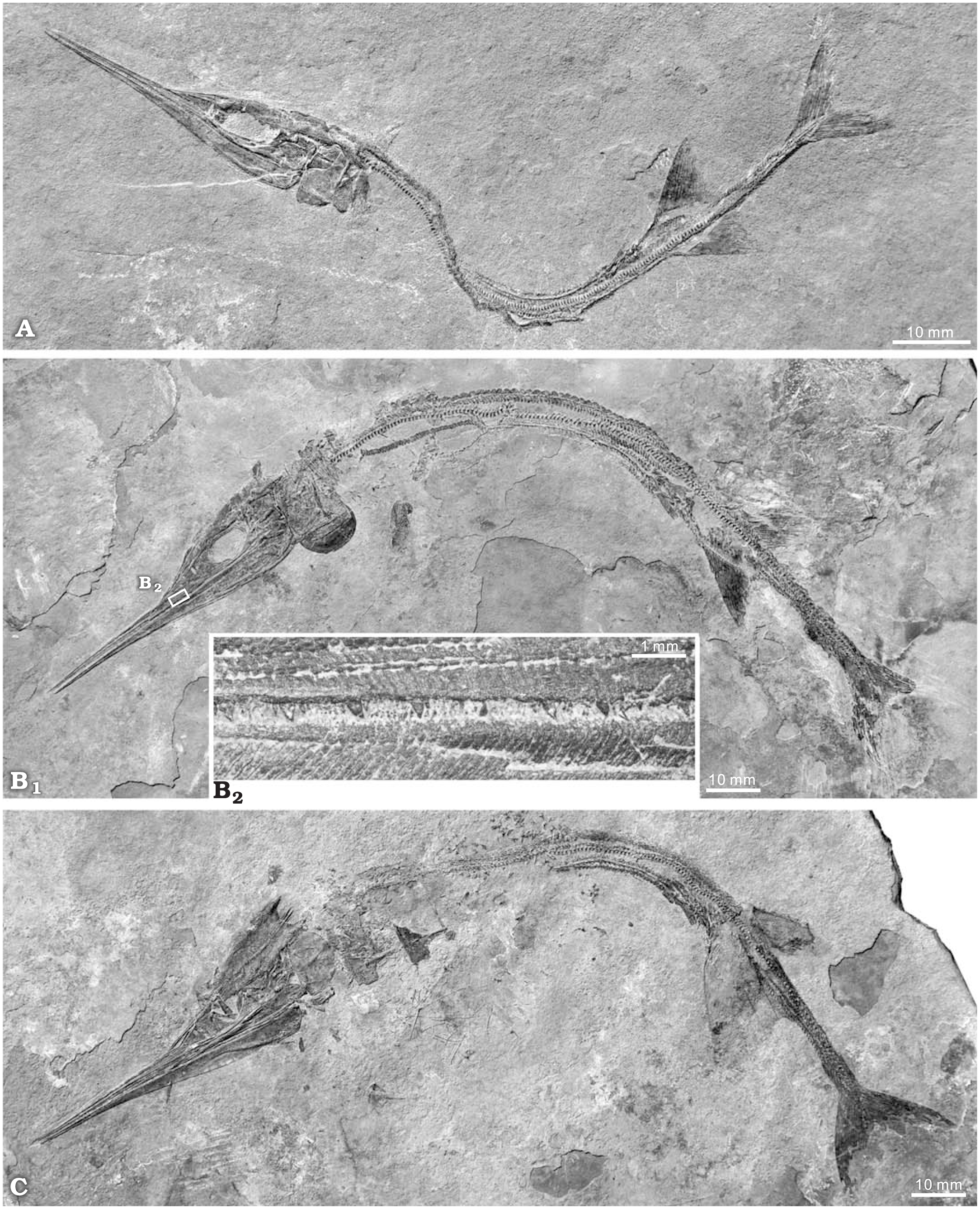 New Saurichthyid Actinopterygian Fishes from the Anisian