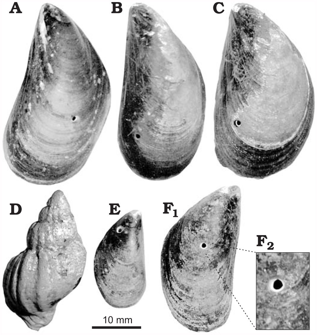 Predation by Drilling Gastropods and Asteroids Upon Mussels in Rocky