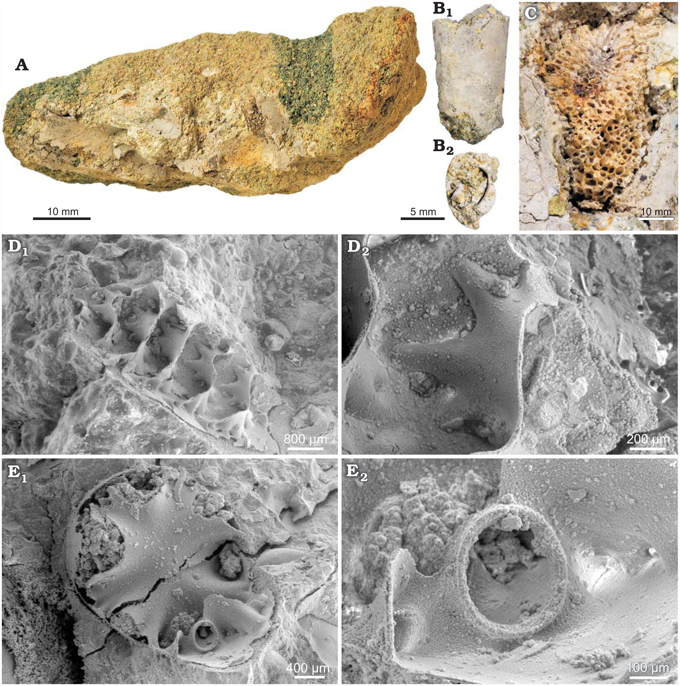 Short-Term Survival of Ammonites in New Jersey After the End
