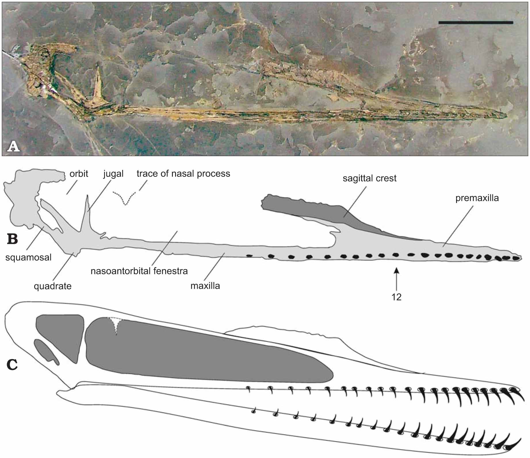 9fb47dc3c91 A New Monofenestratan Pterosaur from the Kimmeridge Clay Formation ...