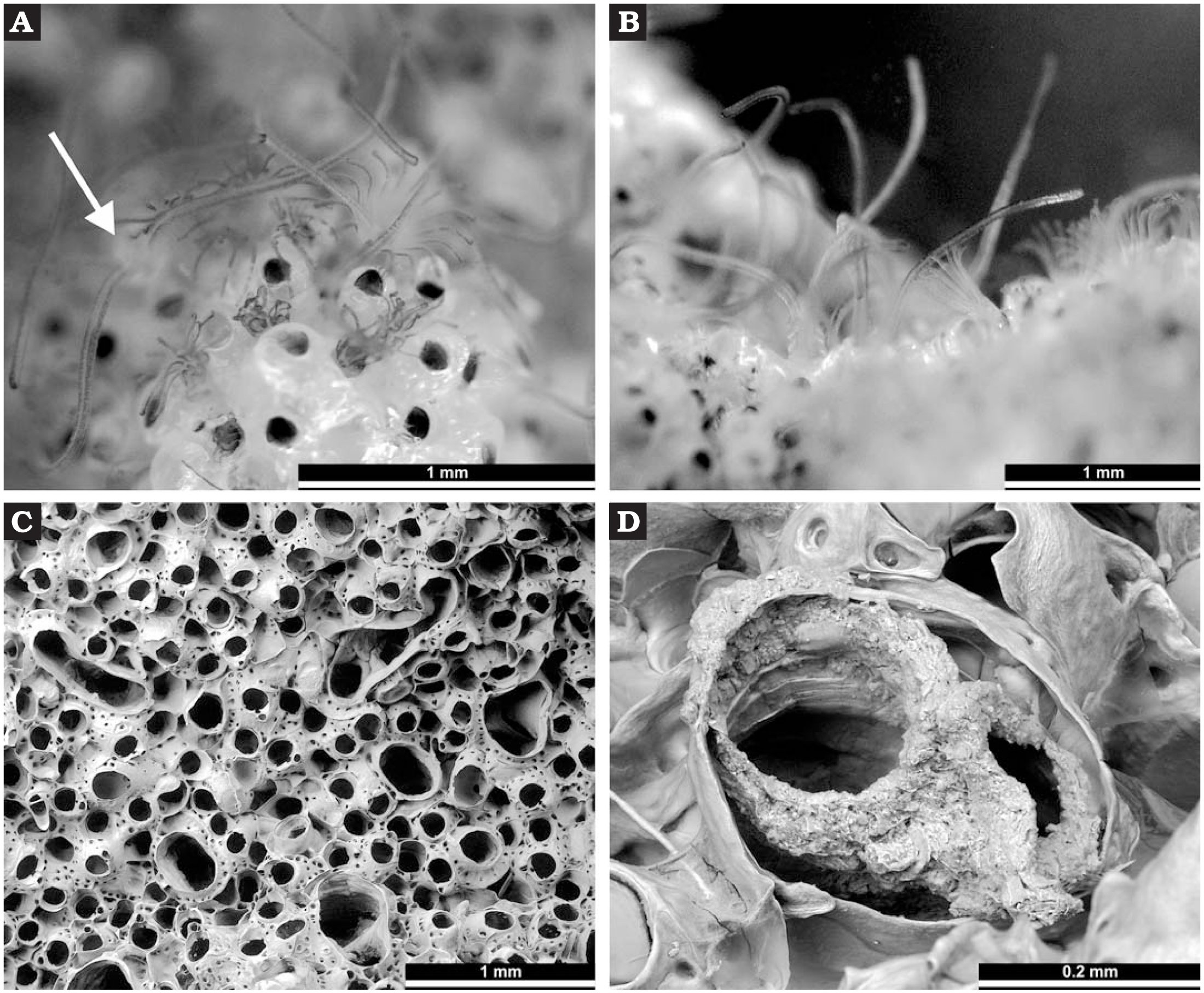 A New Middle Devonian Cystoporate Bryozoan from Germany Containing a