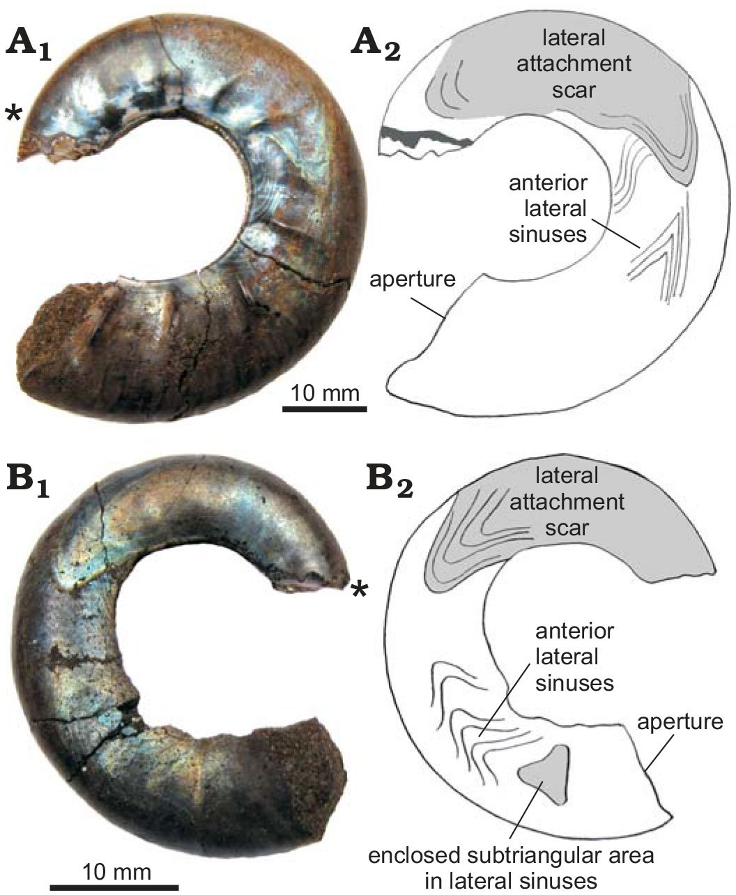 The Soft Tissue Attachment Scars In Late Jurassic Ammonites From