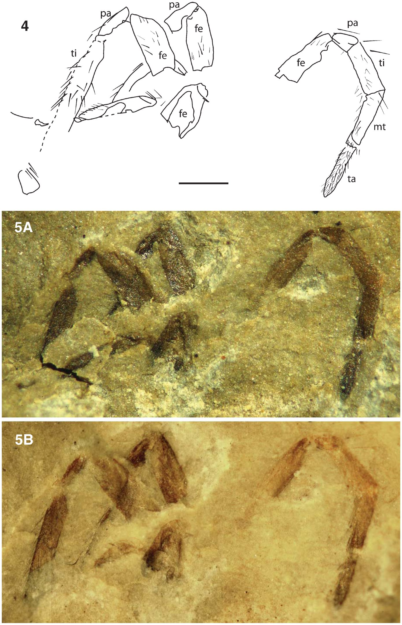 a review of the fossil record of spiders (araneae) with special