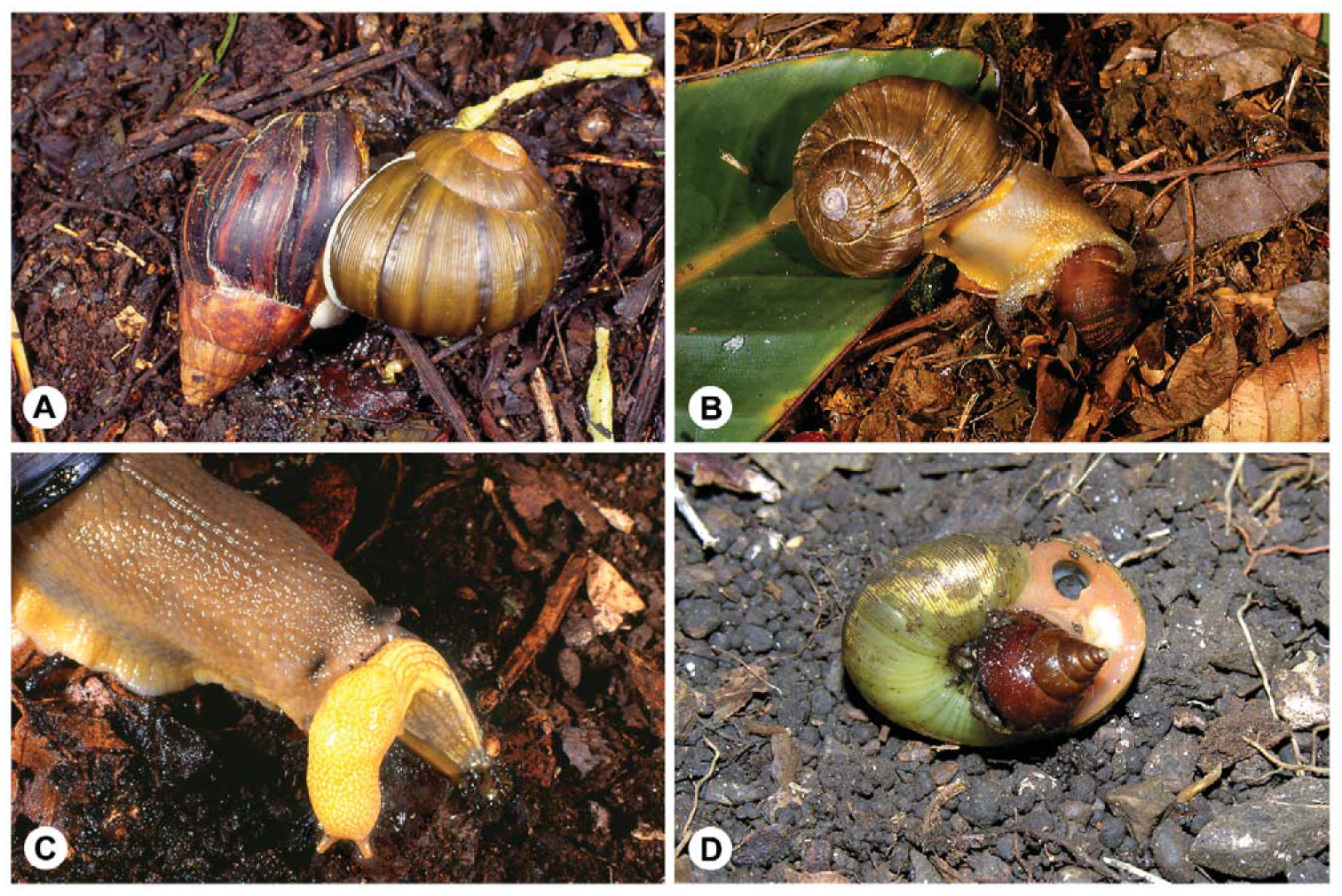 Revision of the Larger Cannibal Snails (Natalina s  l ) of