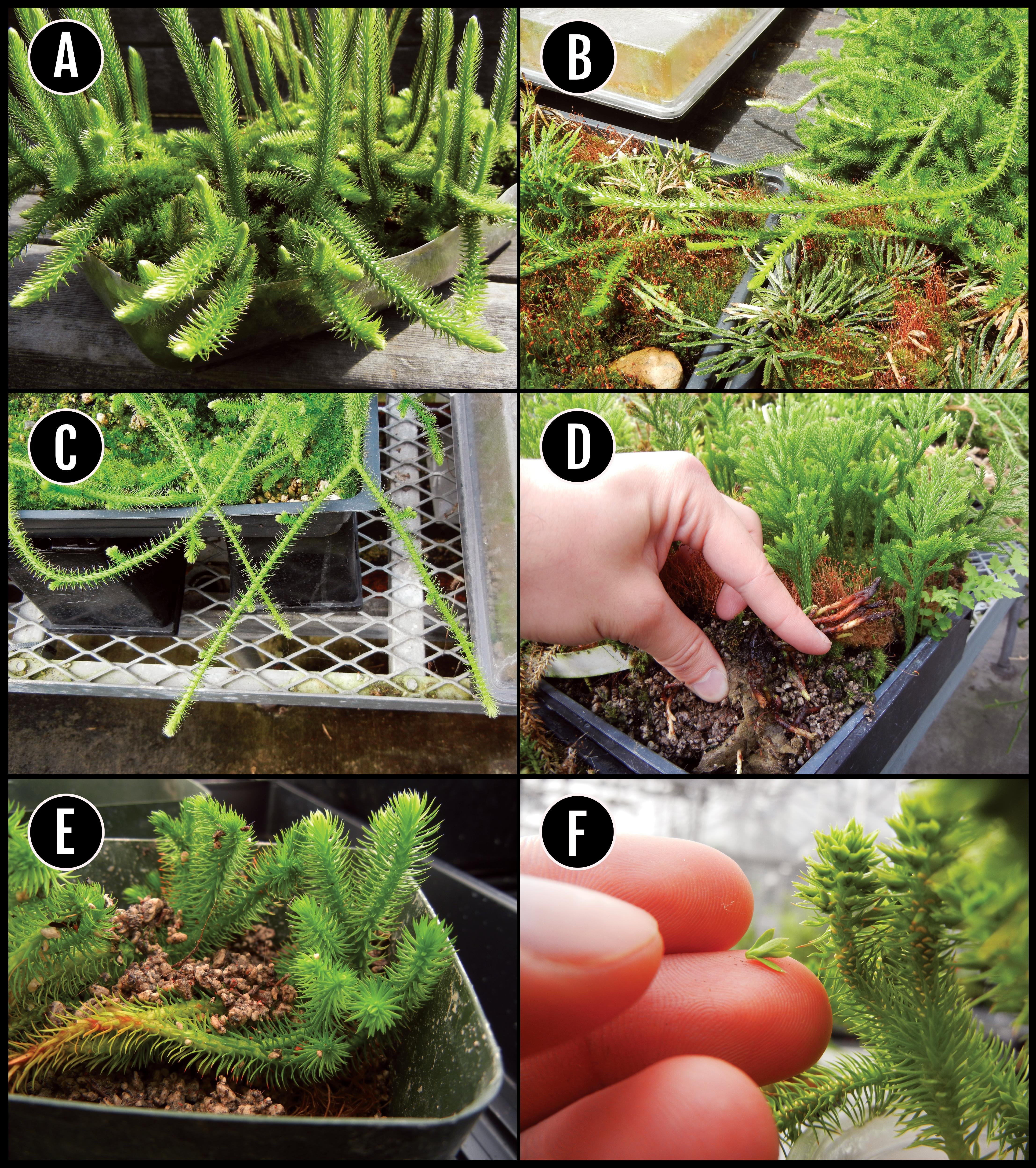 Cultivation Techniques for Terrestrial Clubmosses