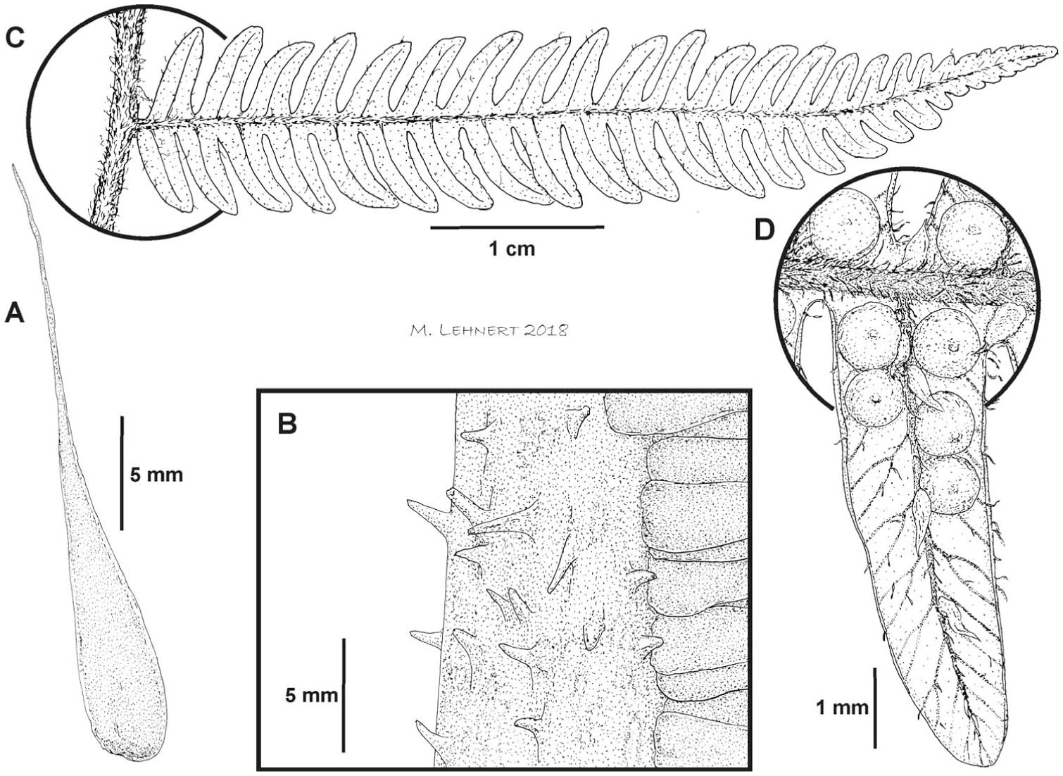New Additions of Scaly Tree Ferns (Cyatheaceae) to the Flora of Colombia