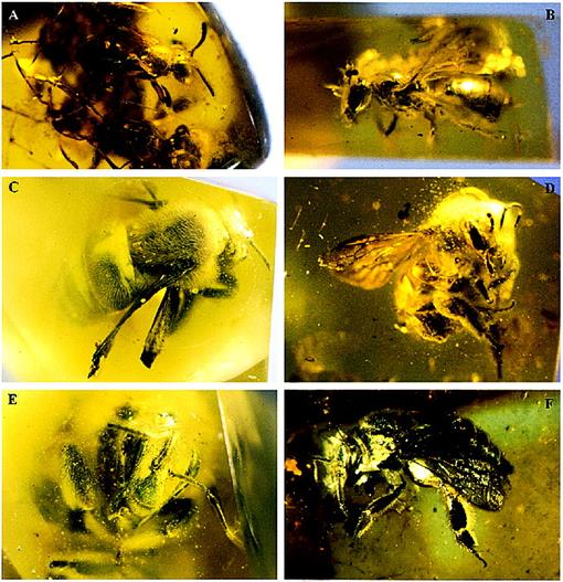 a61b9f425 A MONOGRAPH OF THE BALTIC AMBER BEES AND EVOLUTION OF THE APOIDEA  (HYMENOPTERA)