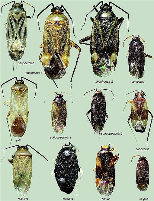 REVISION OF NEW WORLD PLAGIOGNATHUS FIEBER, WITH COMMENTS ON
