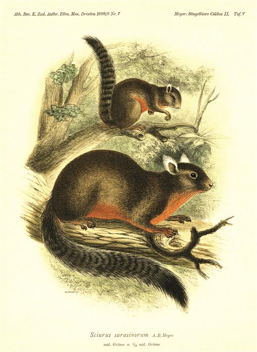 Systematic Review Of Endemic Sulawesi Squirrels Rodentia