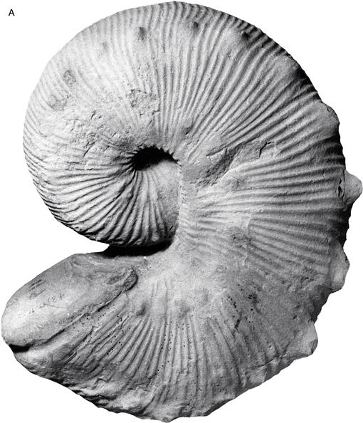 "Scaphites of the ""Nodosus Group"" from the Upper Cretaceous"