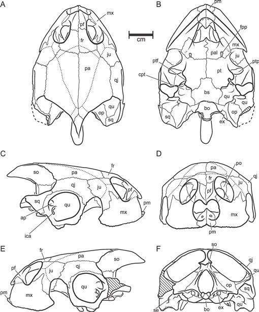 Evolution Of The Side Necked Turtles The Family Podocnemididae