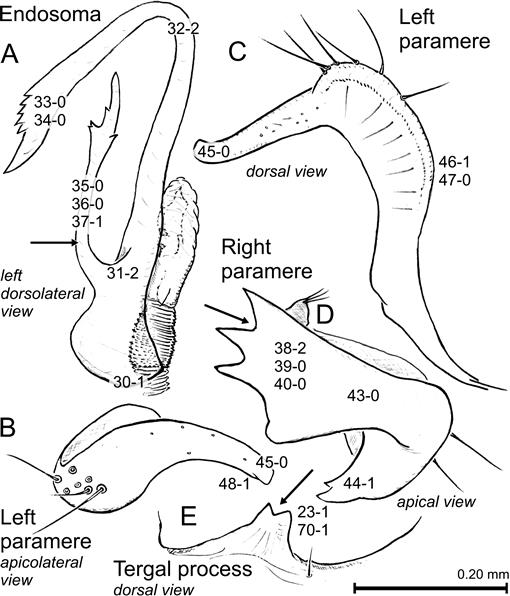 Revision And Phylogenetic Analysis Of The North American Genus