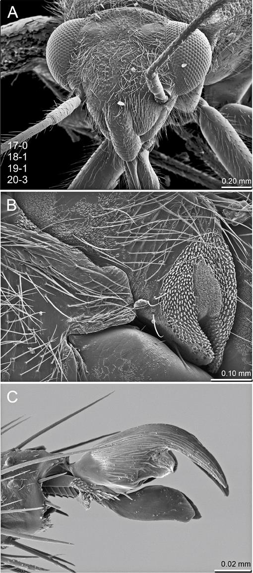 a570b0e6db5a38 Revision and Phylogenetic Analysis of the North American Genus Slaterocoris  Wagner with New Synonymy