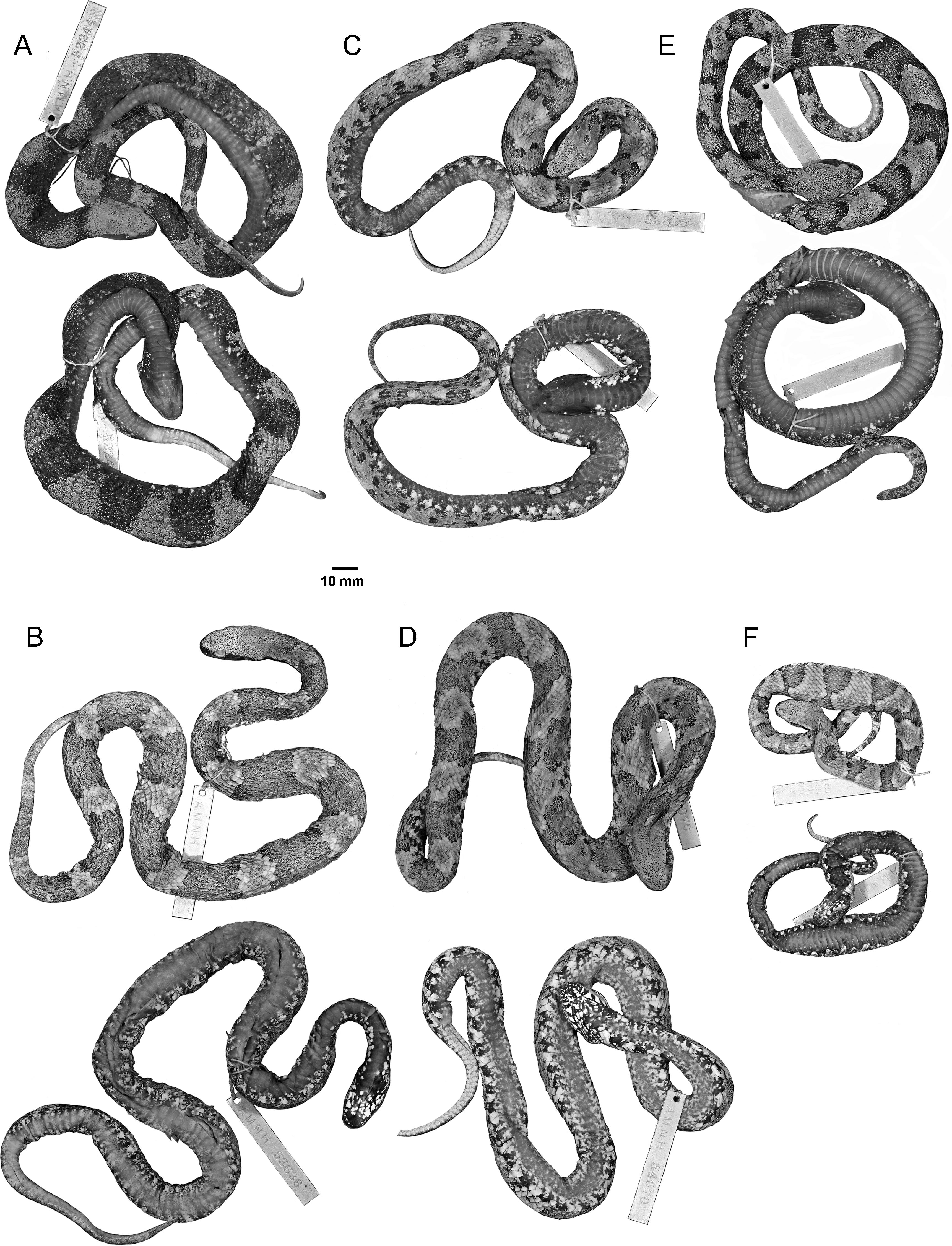 The two taxa appear to be mainly if not entirely allopatric although rabdocephalus is a complex of sibling species
