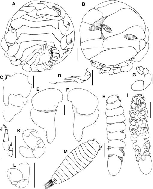 A Review Of Bopyrids Crustacea Isopoda Bopyridae Parasitic On