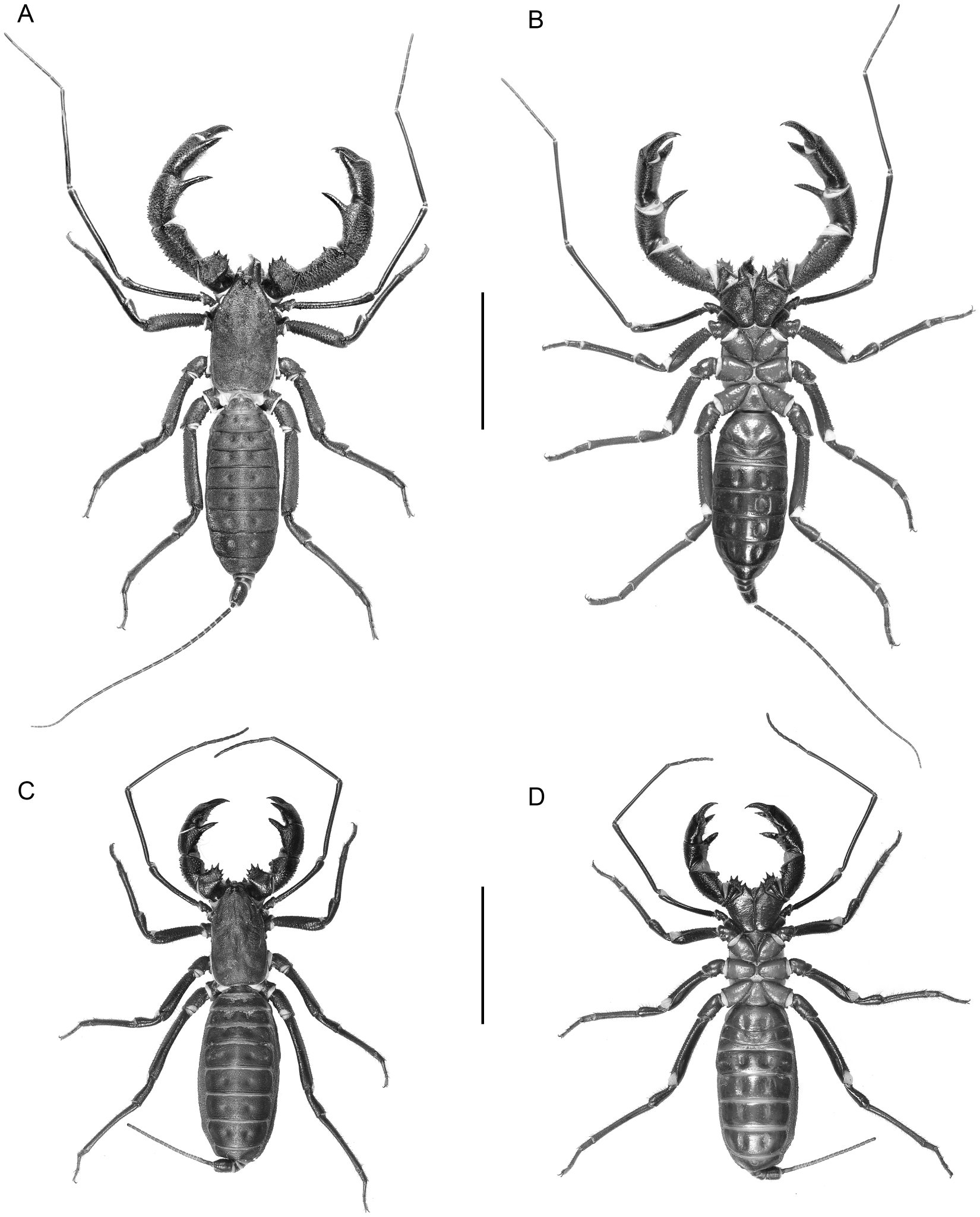 Systematic Revision Of The Giant Vinegaroons Of The Mastigoproctus Giganteus Complex Thelyphonida Thelyphonidae Of North America