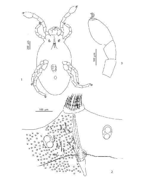 A Redescription Of Echinothrombium Spinosum Canestrini 1885