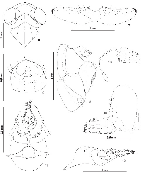 Redescription Of Busas Dissolutus Jacobi 1909 With Notes On