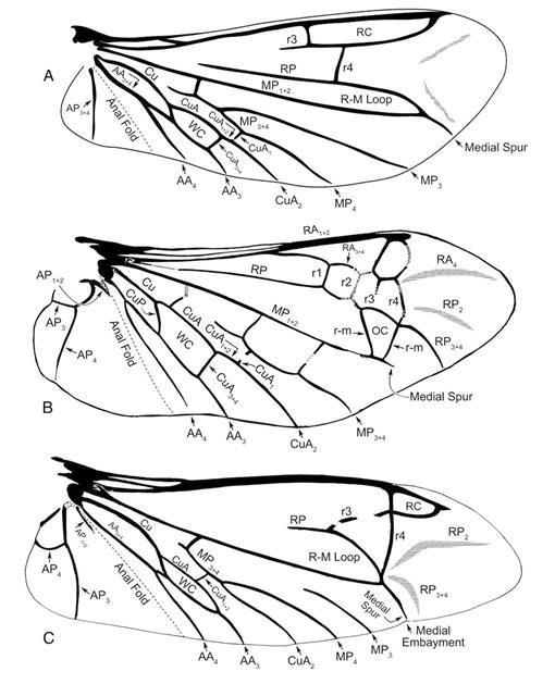 Phylogeny Of The Coleoptera Based On Morphological Characters Of
