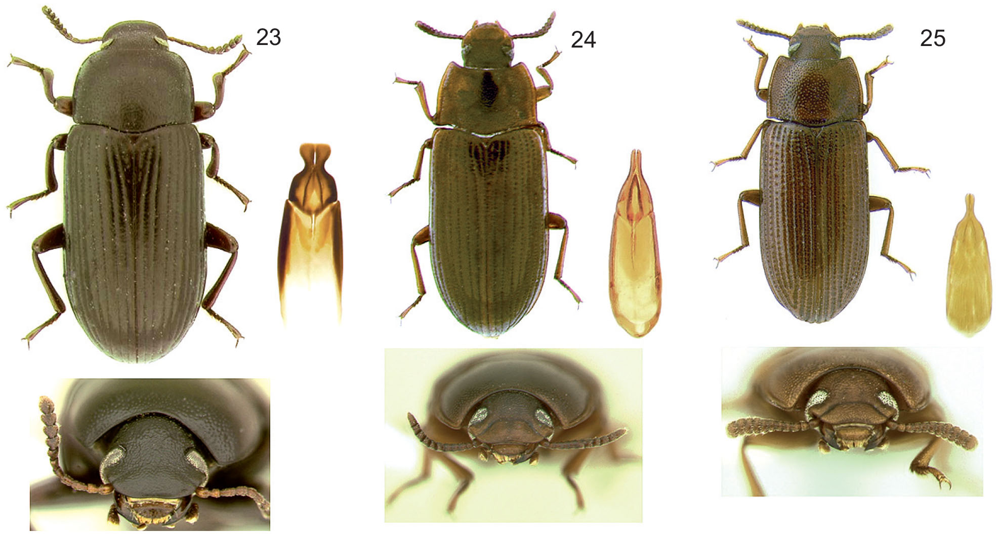 New Assignments among the Genera Haplandrus Leconte