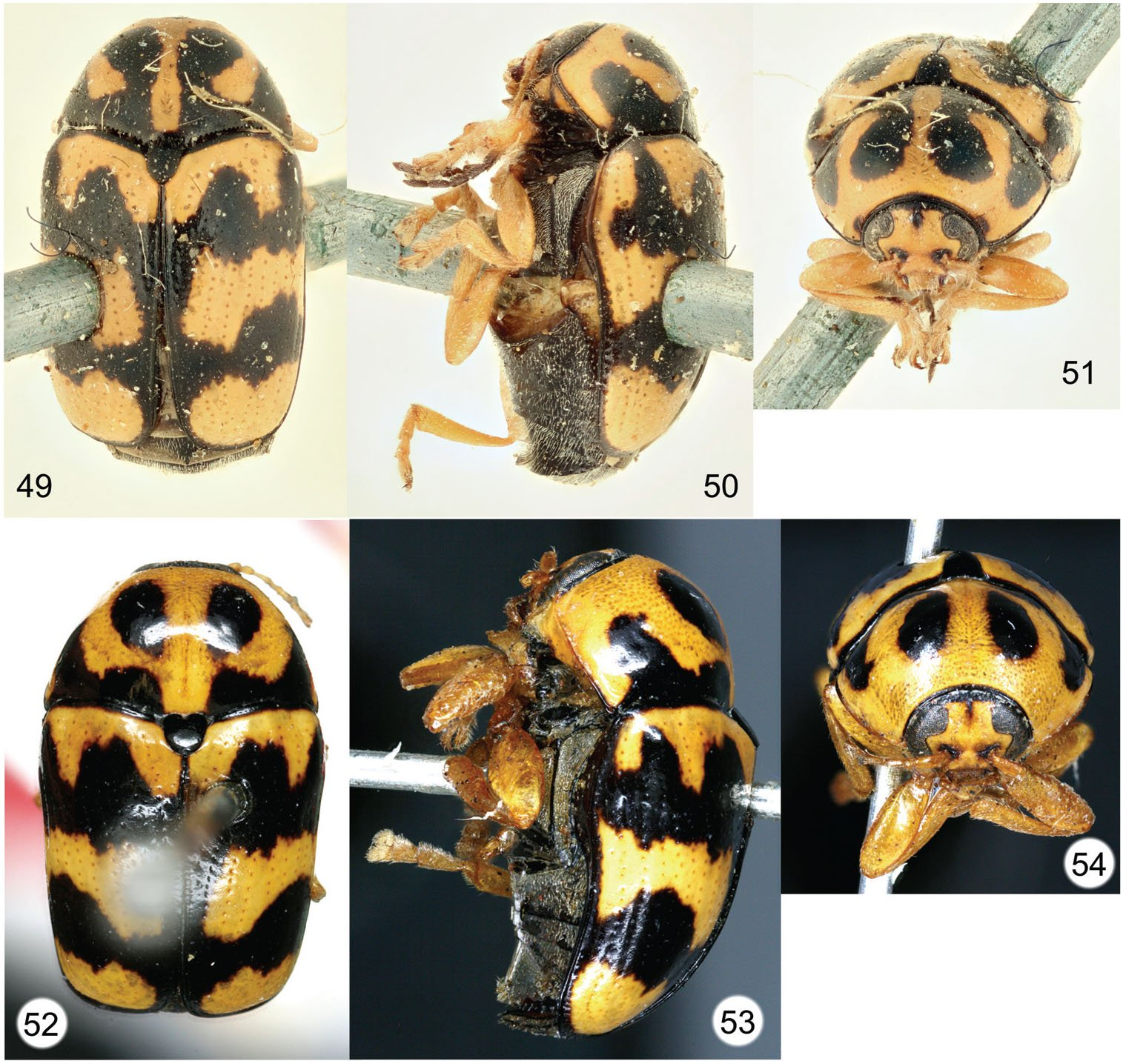 Cryptocephalus Species Described from South Africa by Johan