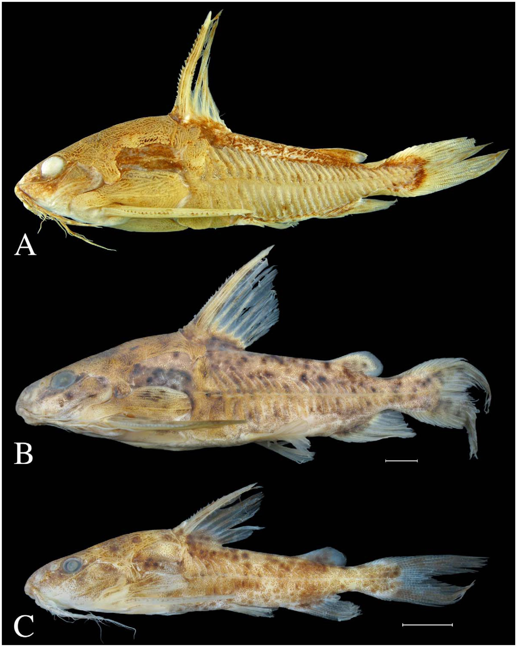 Ossancora, New Genus of Thorny Catfish (Teleostei
