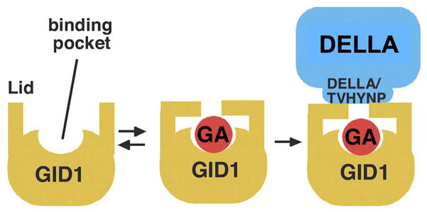 Gibberellin Metabolism, Perception and Signaling Pathways in