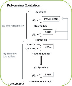 Peroxisome Biogenesis and Function