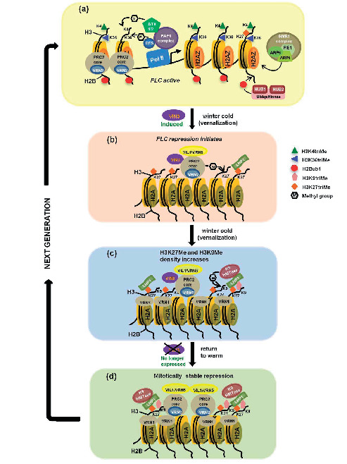 Regulation by Polycomb and Trithorax Group Proteins in Arabidopsis