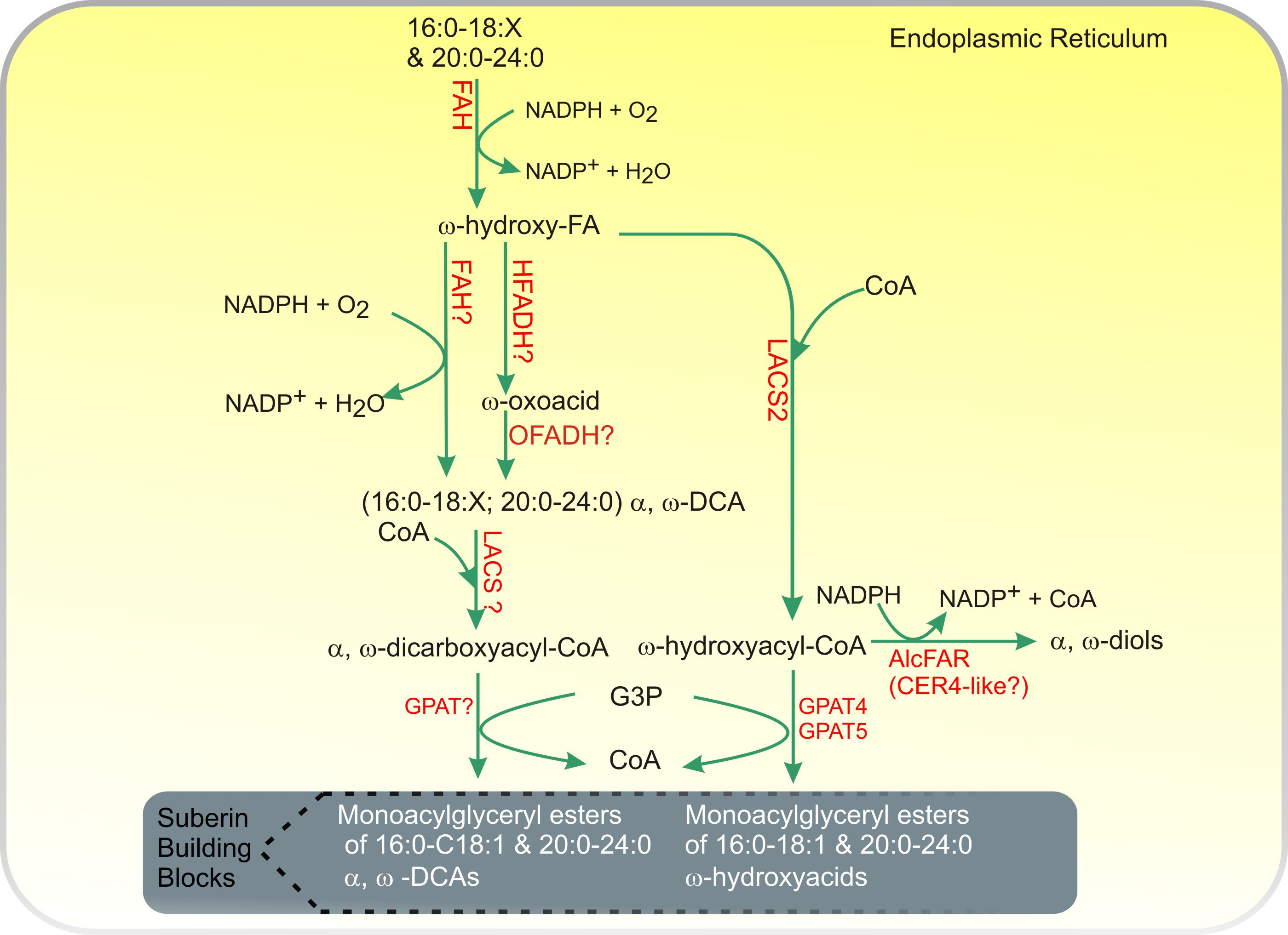 Acyl-Lipid Metabolism