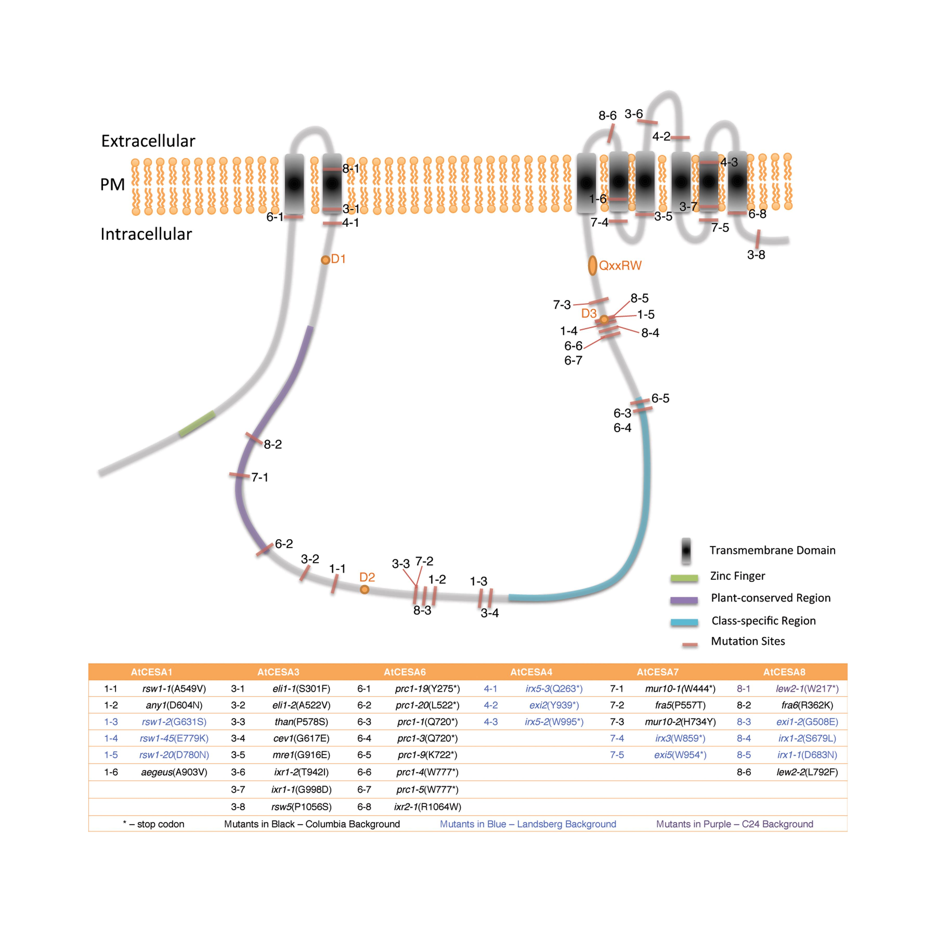 Cellulose Synthesis and Its Regulation