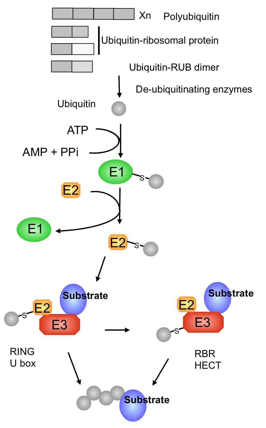 The Ubiquitination Machinery of the Ubiquitin System