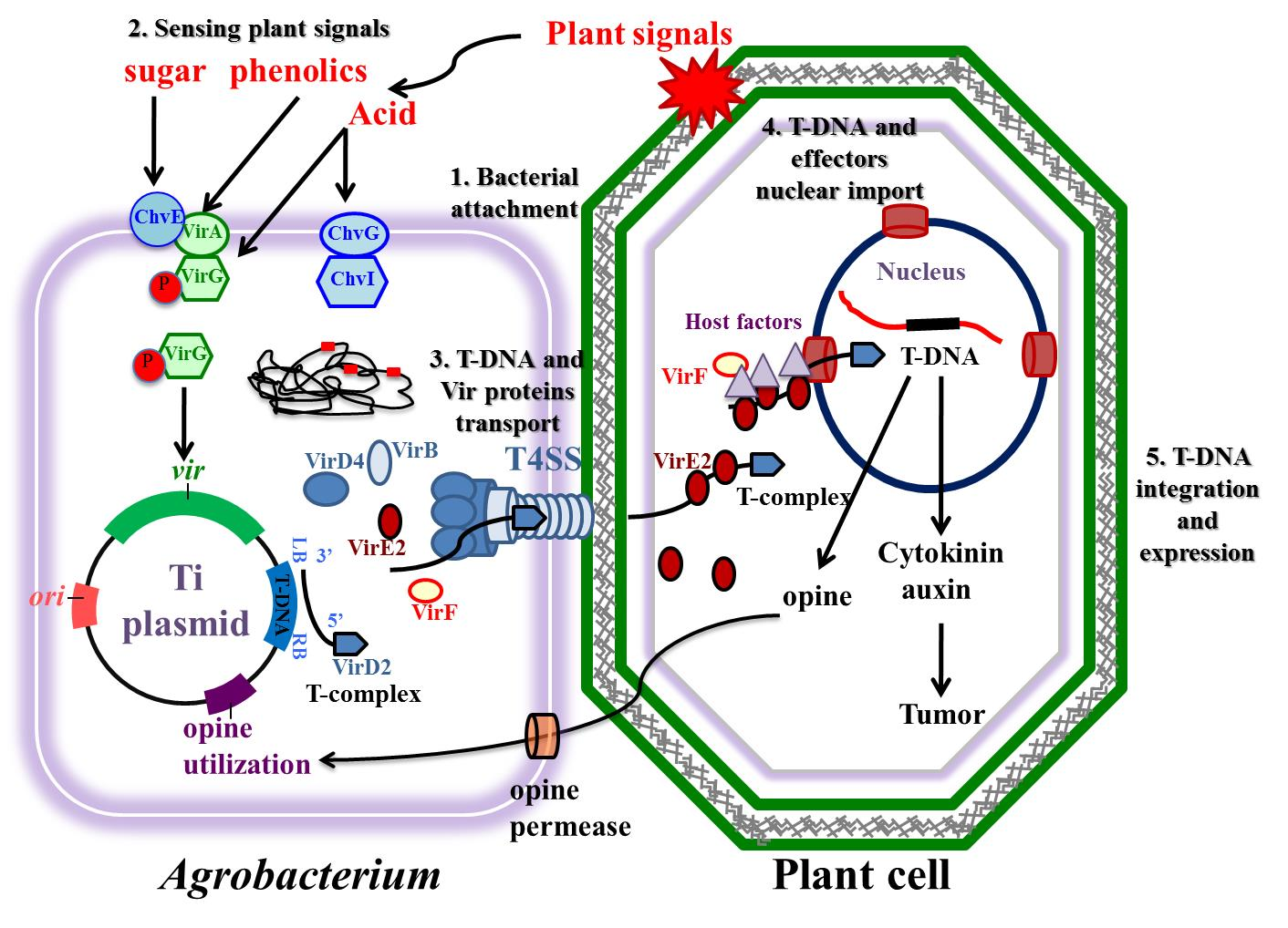 Agrobacterium-Mediated Plant Transformation: Biology and Applications