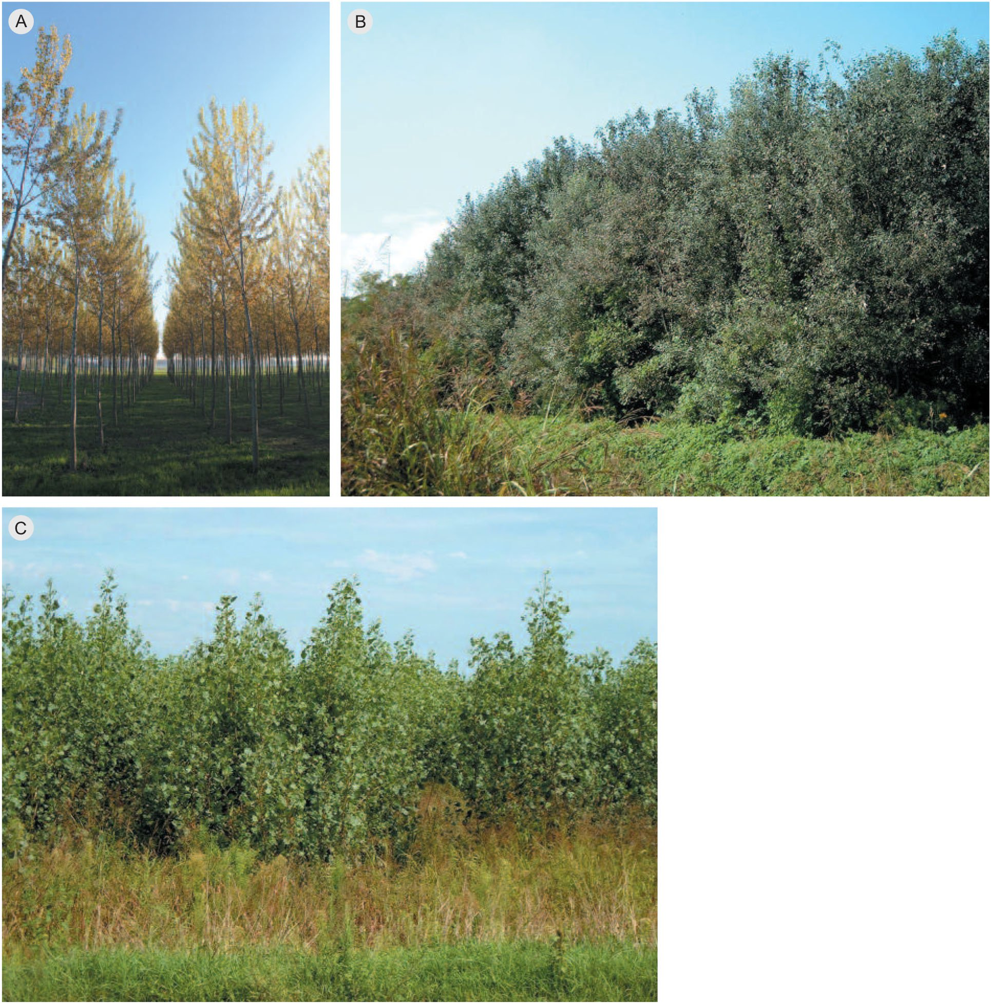 Bird Diversity in Short Rotation Coppice in Northern Italy