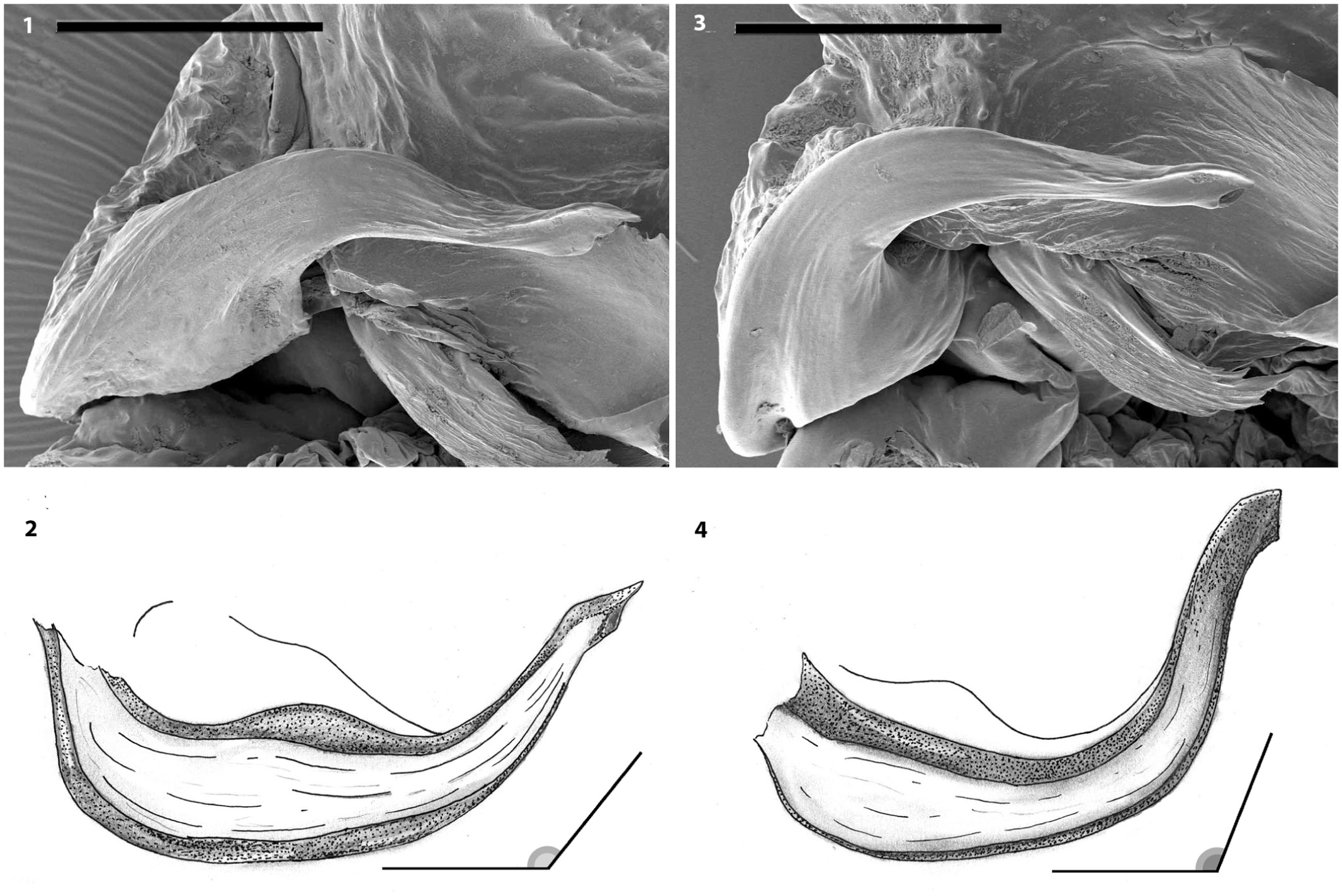 On The Morphological Separation Of Two Sibling Species