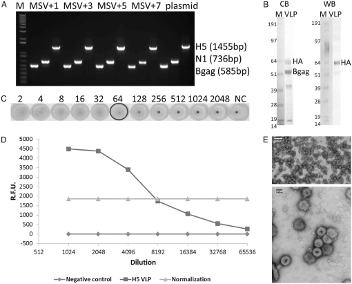 Rapid Construction and Immunogenicity Testing of a Novel H5