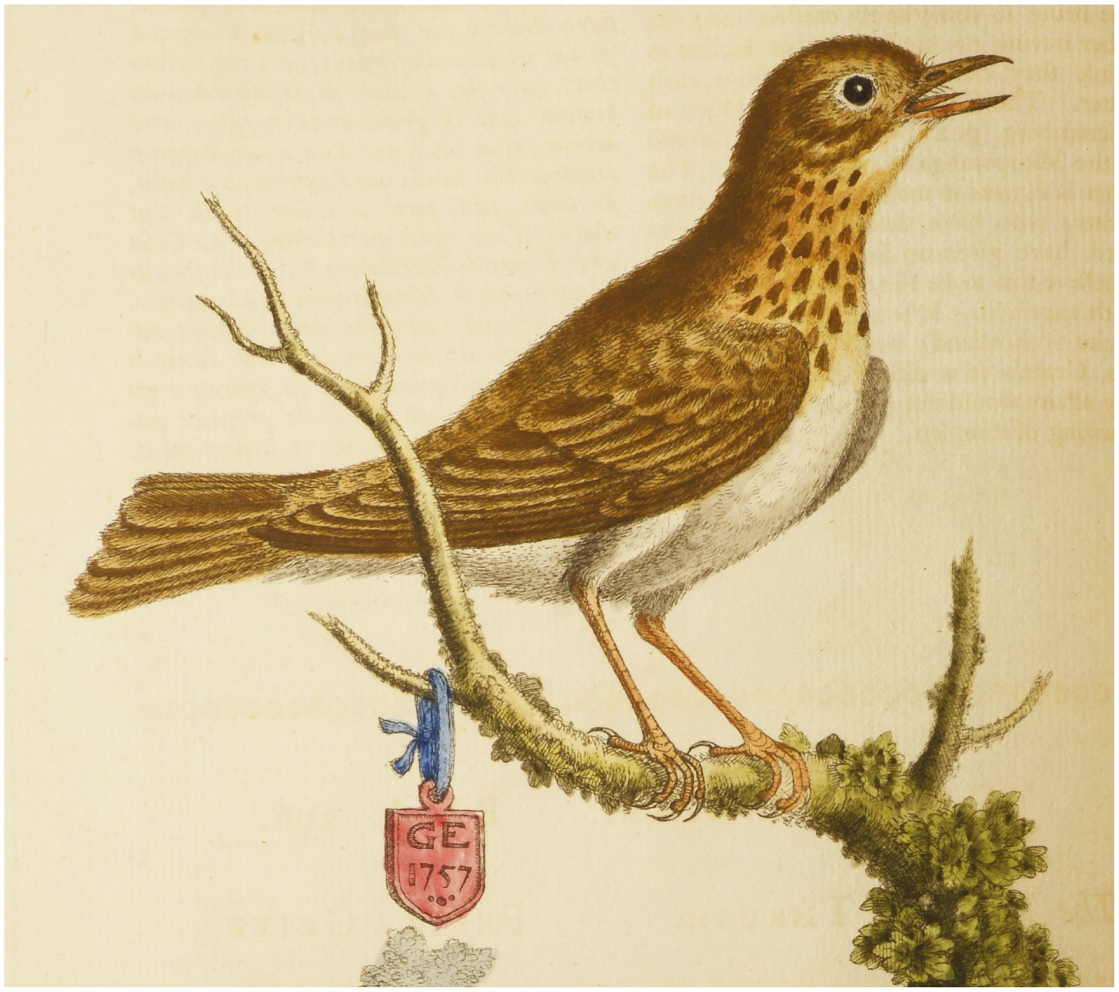 The ambiguous identity of Turdus mustelinus Wilson, and a neotype