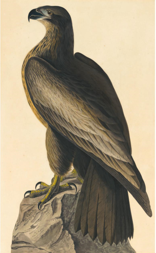 Audubon S Bird Of Washington Unravelling The Fraud That Launched The Birds Of America