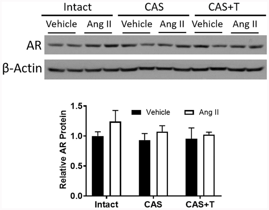 39baf611414fb ... to β-actin is shown at bottom. Values are given as means ± SEM of six  rats in each group. CAS—castrated, CAS+T—castrated with testosterone  replacement.