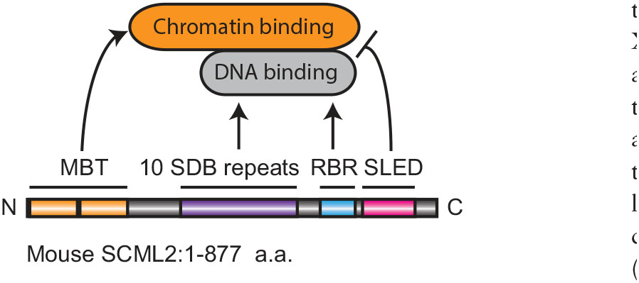 A rapidly evolved domain, the SCML2 DNA-binding repeats, contributes