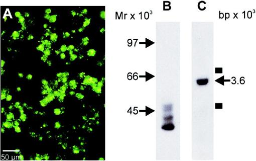 Gap Junction Communication and Connexin 43 Gene Expression in a Rat