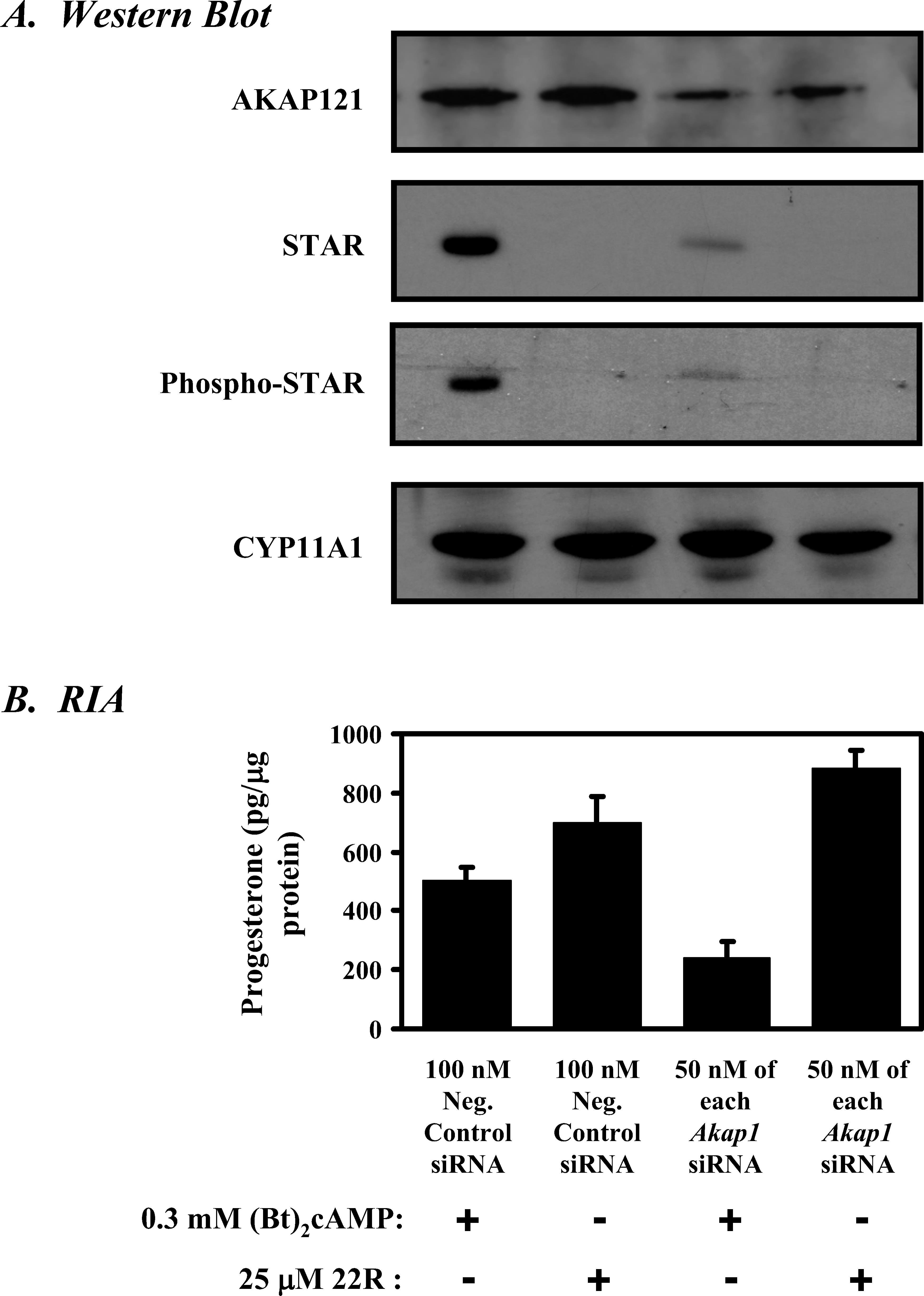 Mitochondrial A-Kinase Anchoring Protein 121 Binds Type II