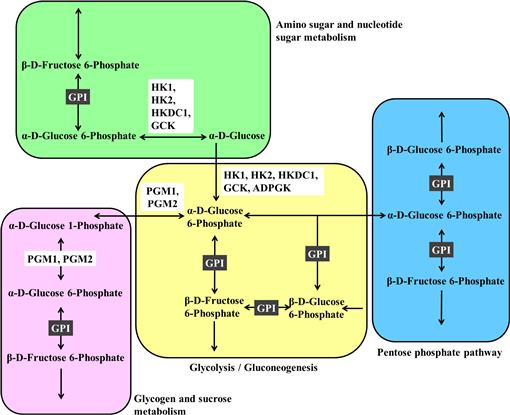 Expression and Knockdown Analysis of Glucose Phosphate