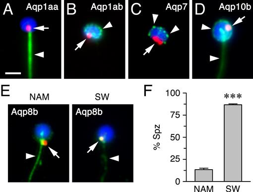 Subcellular Localization of Selectively Permeable Aquaporins
