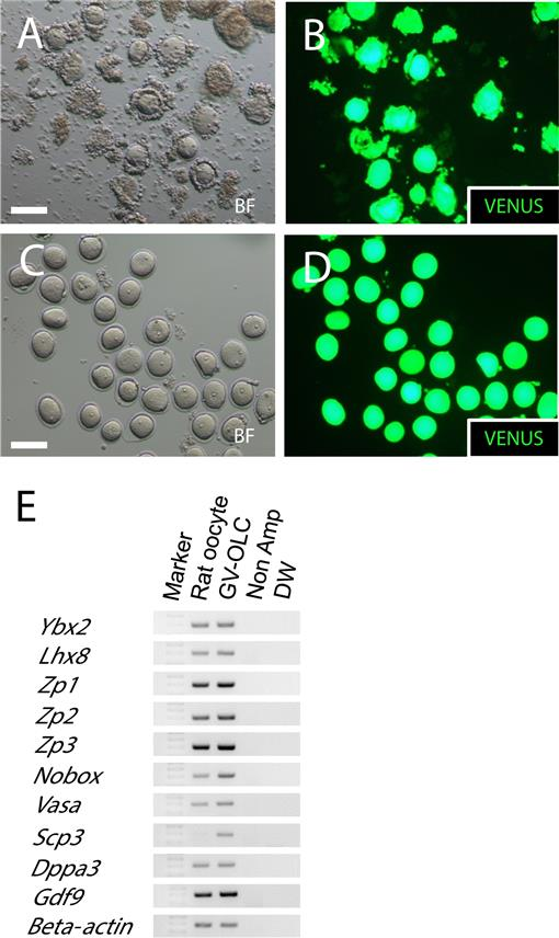 Generation of Mouse Functional Oocytes in Rat by Xeno