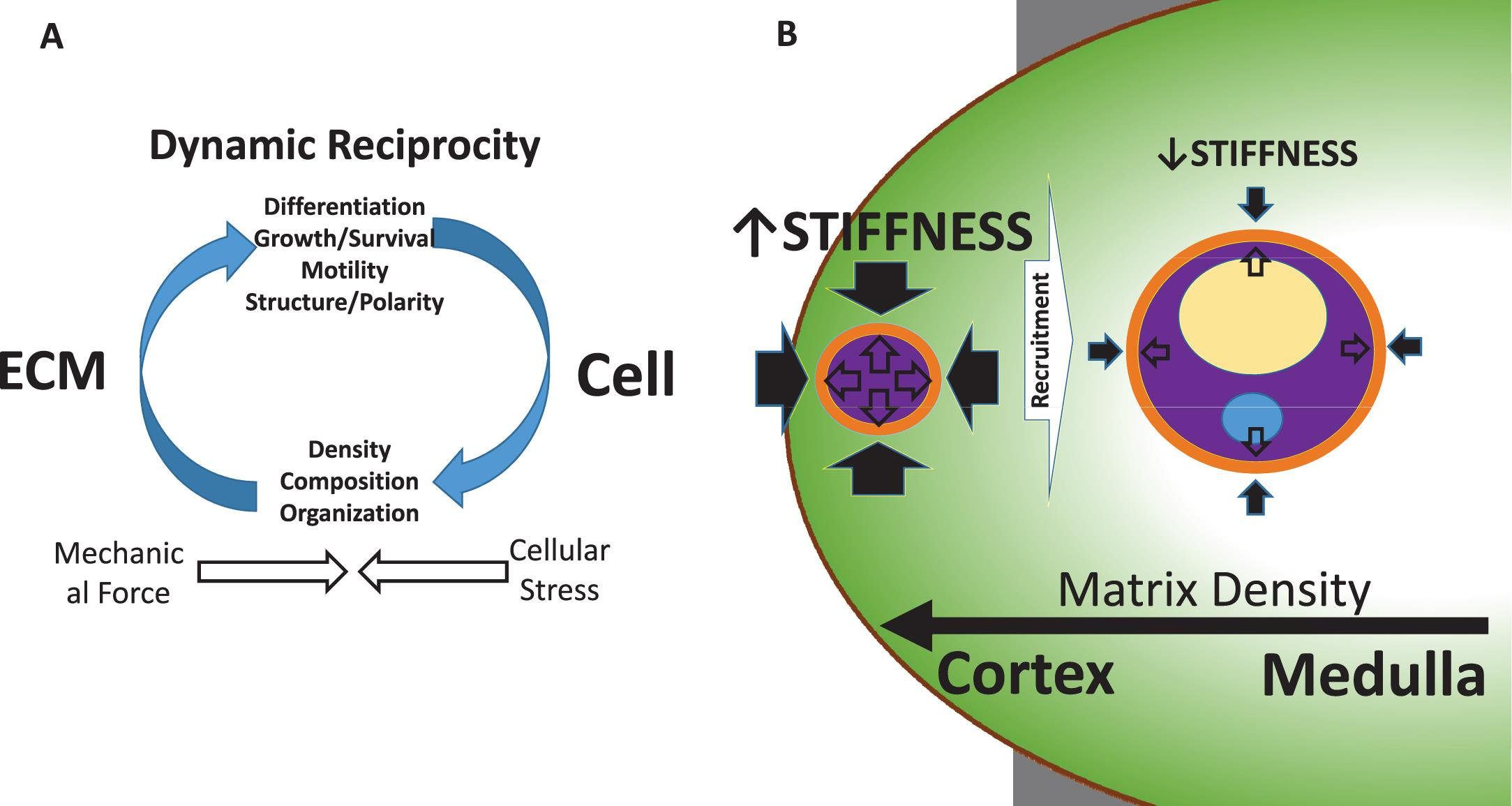 Dynamic Reciprocity Between Cells and Their Microenvironment in