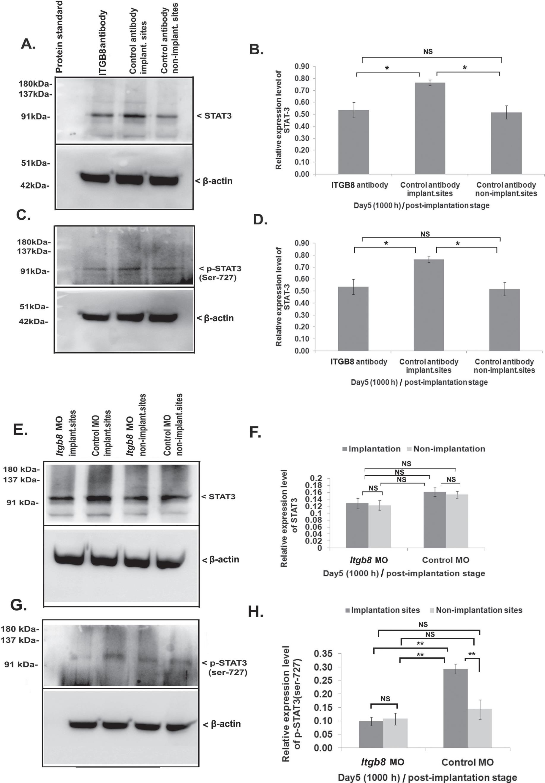 Integrin Beta 8 (ITGB8) Regulates Embryo Implantation