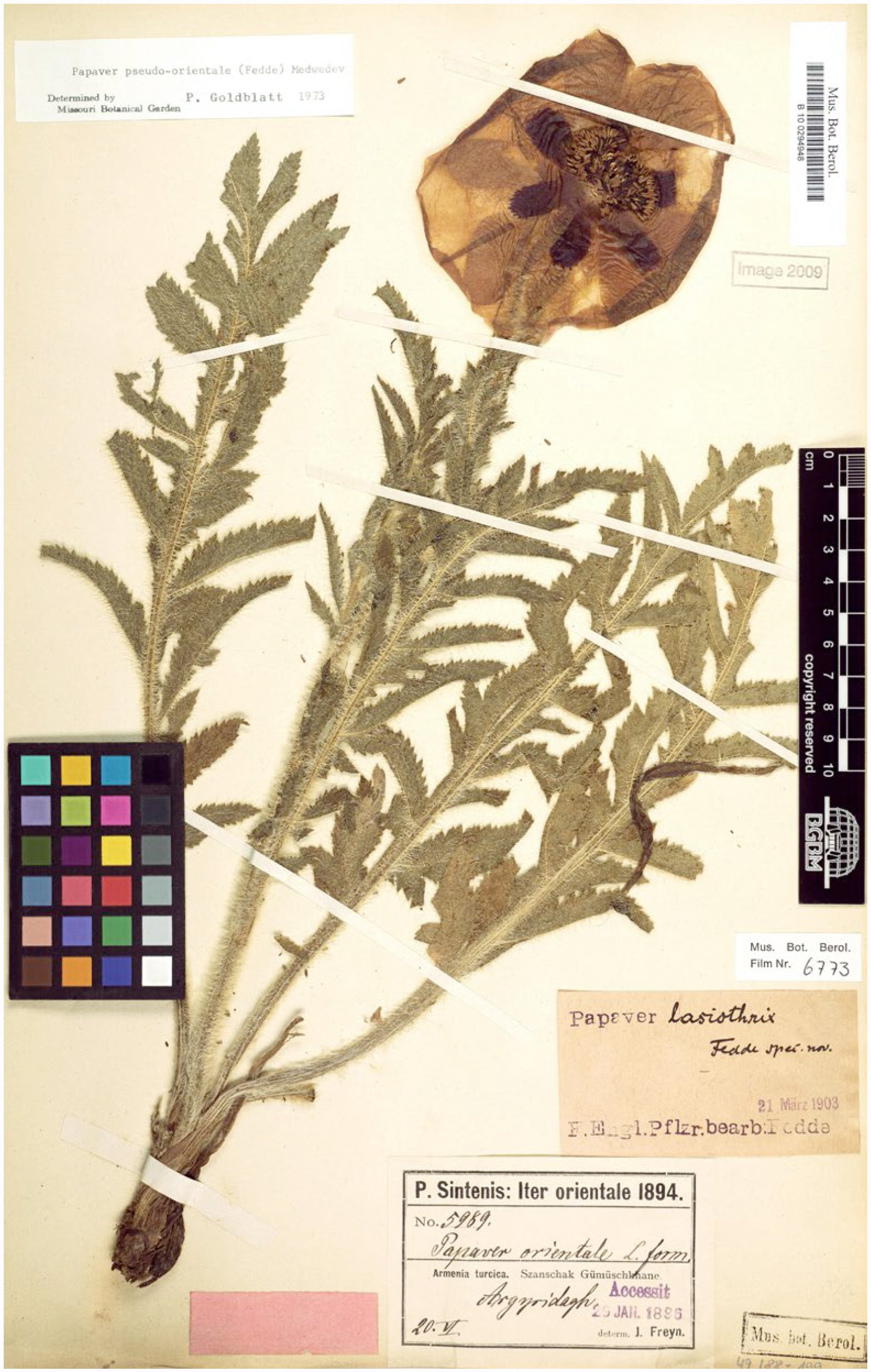 The discovery and naming of Papaver orientale s l
